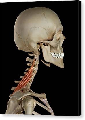 Human Neck Muscles Canvas Print
