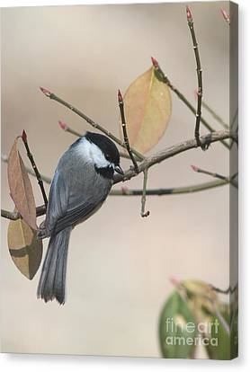 Black-capped Chickadee Canvas Print by Jack R Brock
