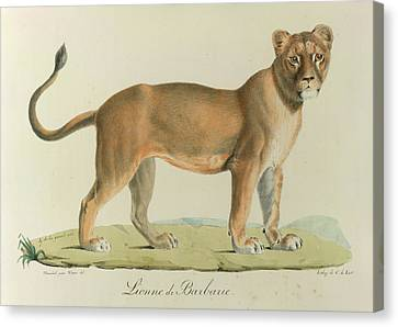 A Barbary Lioness Canvas Print
