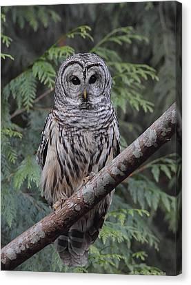 A Barred Owl Canvas Print by Daniel Behm