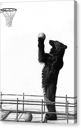 Aiming Canvas Print - A Basketball Bear by Underwood Archives