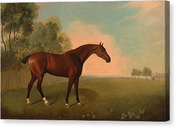 A Bay Horse In A Field Canvas Print