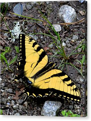 A Beautiful Swallowtail Butterfly Canvas Print by Eva Thomas