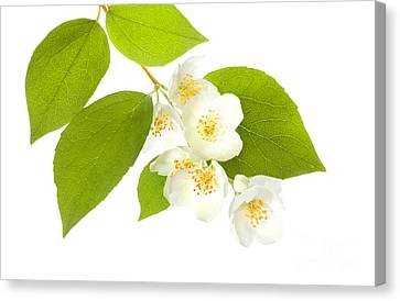 A Beautiful White Flower Canvas Print