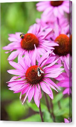 A Bee Gathering Pollen Canvas Print by Ashley Cooper