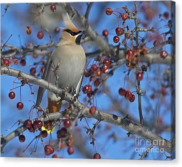 A Bird For Its Crest.. Canvas Print by Nina Stavlund