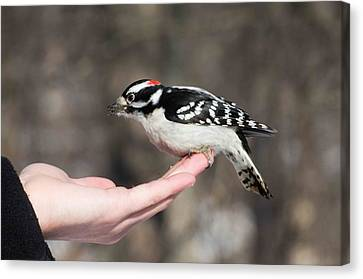 A Bird In The Hand Canvas Print by Cheryl Cencich