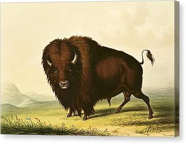 Creature Canvas Print - A Bison by George Catlin