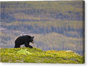 A Black Bear Foraging For Berries Near Canvas Print by Michael Jones