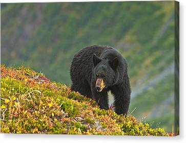 A Black Bear Foraging For Berries On A Canvas Print by Michael Jones