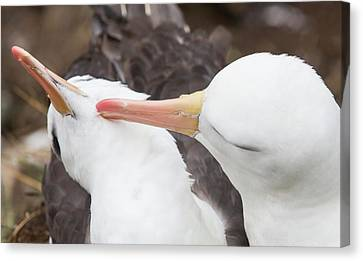 A Black Browed Albatross Canvas Print