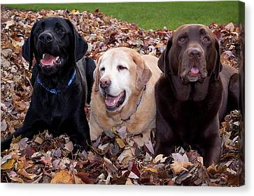 A Black, Yellow, And Chocolate Labrador Canvas Print by Jaynes Gallery
