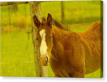 A Blue Eyed Colt Canvas Print by Jeff Swan