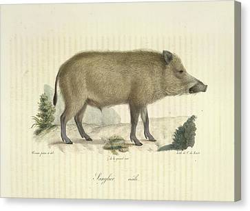 Razorbacks Canvas Print - A Boar by British Library