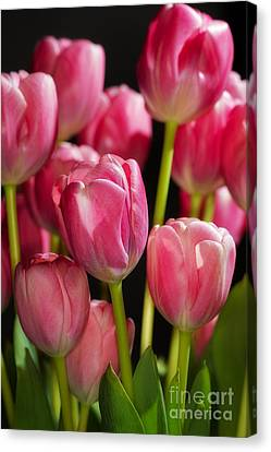 A Bouquet Of Pink Tulips Canvas Print by Nick  Biemans
