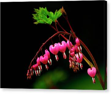 A Bright Bleeding Heart Flower Canvas Print