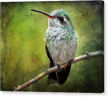 A Broad-billed Hummer Canvas Print