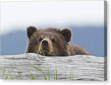 A Brown Bear Cub Rests Its Head On A Canvas Print by John Hyde