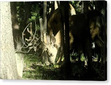 A Buck Deer Grazes Canvas Print
