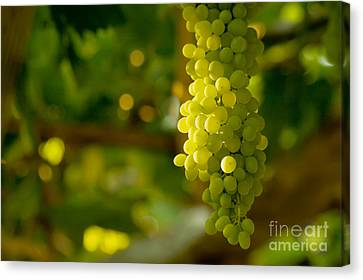 A Bunch Of White Grapes  Canvas Print by Leyla Ismet