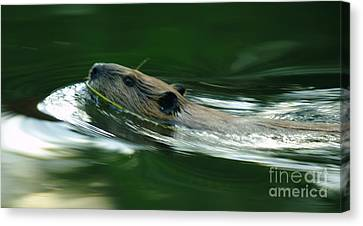 A Busy Beaver  Canvas Print by Jeff Swan