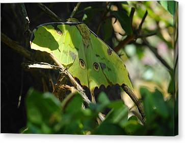 A Buttterfly Resting Canvas Print by Jeff Swan