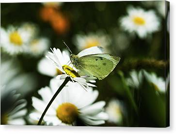 A Cabbage White Butterfly Rests Canvas Print by Robert L. Potts