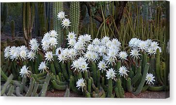 A Cactus Awakening Canvas Print by Cindy McDaniel