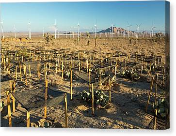 A Cactus Regeneration Area Canvas Print by Ashley Cooper