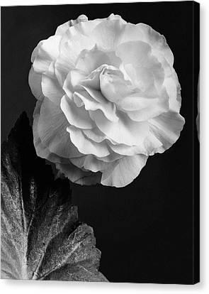 Camellia Canvas Print - A Camellia Flower by J. Horace McFarland