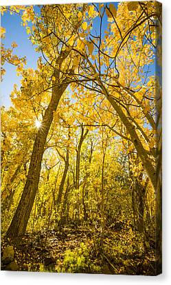 A Canopy Of Aspens At Mcgee Creek In The Eastern Sierras Canvas Print by Joe Doherty