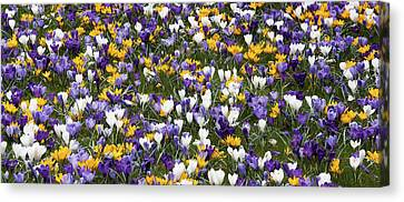A Carpet Of Crocuses Canvas Print by Peter Lloyd