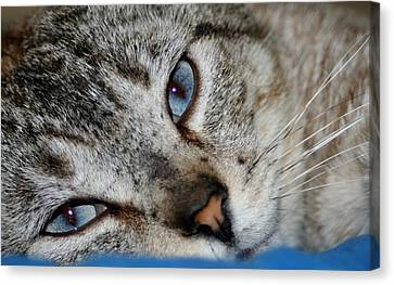 A Cat Named...blue Canvas Print by Barbara S Nickerson