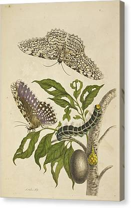 Graf Canvas Print - A Caterpillar Feeding On A Plant by British Library
