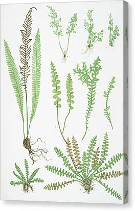 A. Ceterach Officinarum. B. Gymnogramma Leptophylla Canvas Print by Litz Collection