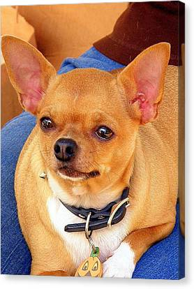 Canvas Print featuring the photograph A Chihuahua Named Pumpkin by Antonia Citrino