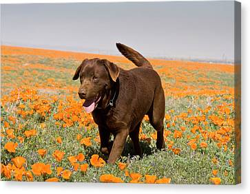 A Chocolate Labrador Retriever Walking Canvas Print by Zandria Muench Beraldo