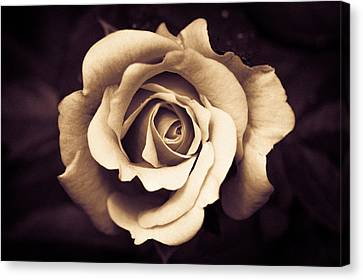A Chocolate Raspberry Rose Canvas Print by Wade Brooks