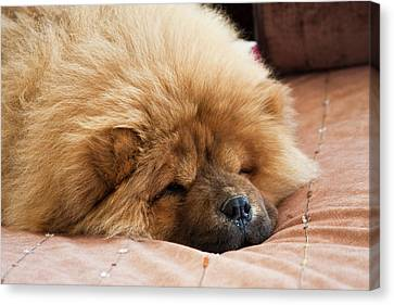 A Chow Chow Puppy Lying On A Tan Canvas Print by Zandria Muench Beraldo