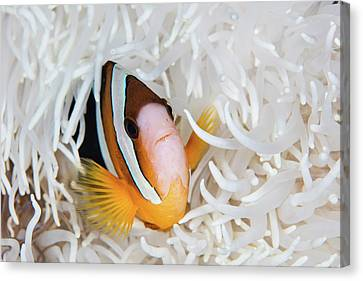 A Clarks Anemonefish Swims Among Canvas Print by Ethan Daniels