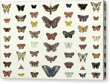 A Collage Of Butterflies And Moths Canvas Print by French School