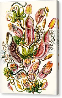 A Collection Of Nepenthaceae Canvas Print by Ernst Haeckel