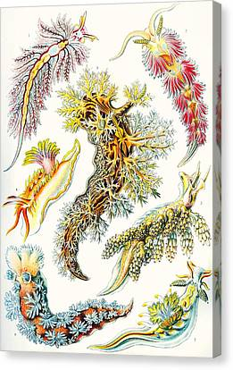A Collection Of Nudibranchia Canvas Print by Ernst Haeckel