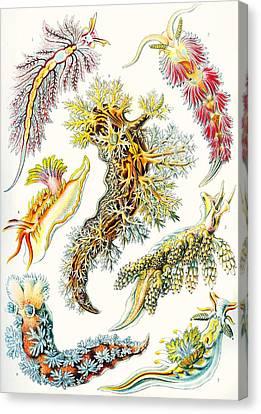 A Collection Of Nudibranchia Canvas Print