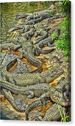A Congregation Of Alligators Canvas Print by Rona Schwarz