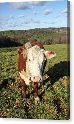 Franklin Farm Canvas Print - A Cow At Wheel-view Farm, Shelburne by Susan Pease