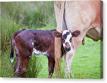 A Cow With A New Born Calf Canvas Print by Ashley Cooper