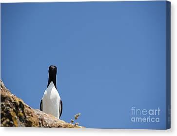 Razorbill Canvas Print - A Curious Bird by Anne Gilbert
