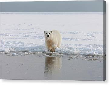 A Curious Young Polar Bear Plays Canvas Print by Hugh Rose