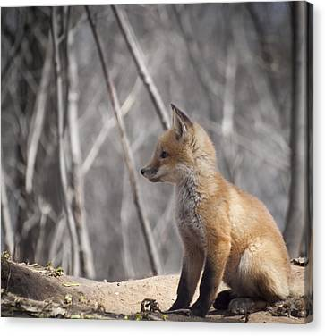 A Cute Kit Fox Portrait 2 Canvas Print by Thomas Young